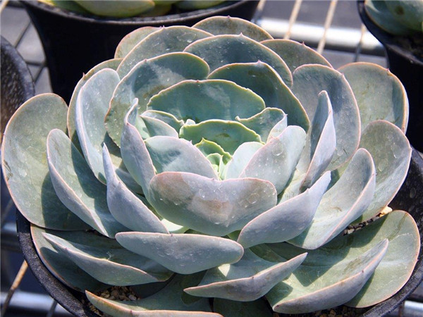 梦幻湖 Echeveria Dream Lake