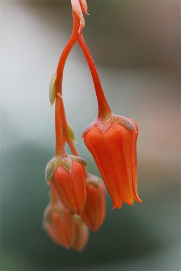 巨人黑爪 Echeveria Giant Claw
