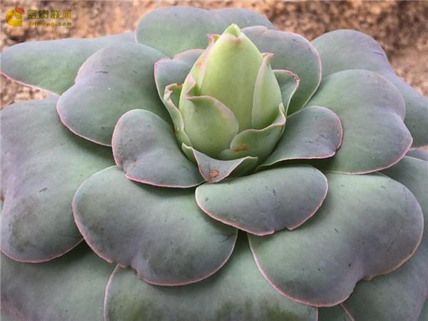鸡蛋玫瑰 Aeonium diplocyclum var. gigantea