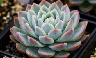 卡罗月影 Echeveria 'Jalisco's Glow'