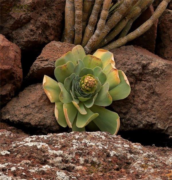 大型山地玫瑰 Aeonium diplocyclum