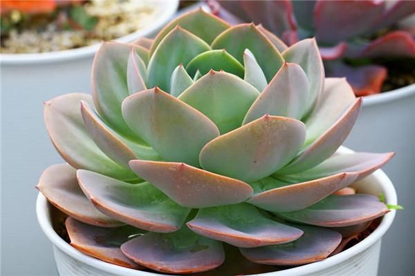 粉红巨人 Echeveria Pink Giant