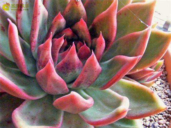 相府莲 Echeveria agavoides Prolifera