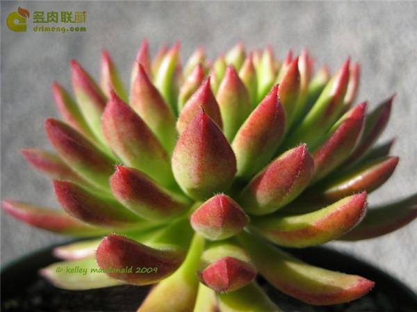 红辉殿/红辉艳 Echeveria Spruce-Oliver