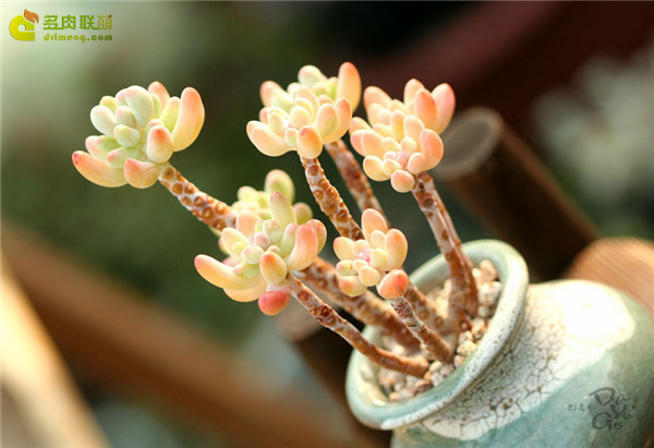爱心Sedum pachyphyllum thin blue form