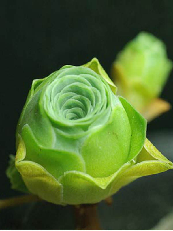 翡翠球 Aeonium dodrantale