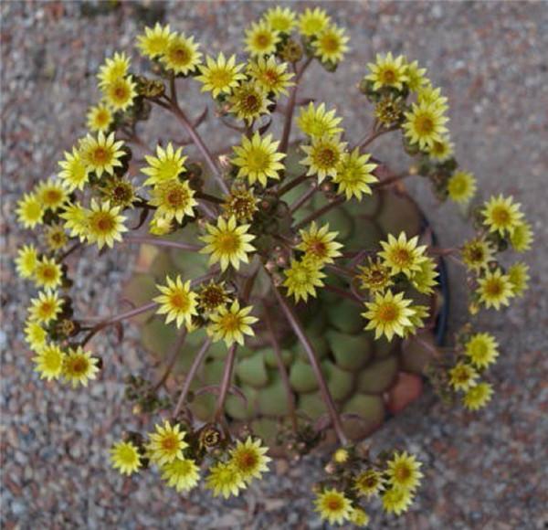 盃莲 Aeonium glandulosum