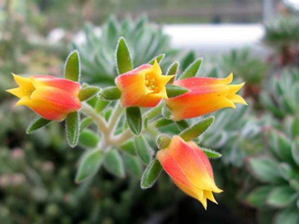花之司的花朵特点