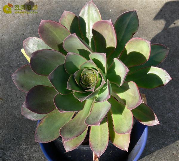戴冠曲 Aeonium hierrense