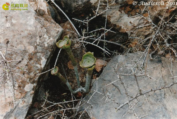瑾悬山 Aeonium korneliuslemsii