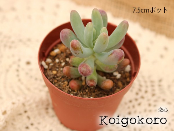 恋心 Sedum pachyphyllum koigokoro