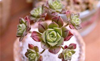 红拂?Aeonium mascaense