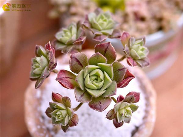 红拂 Aeonium mascaense