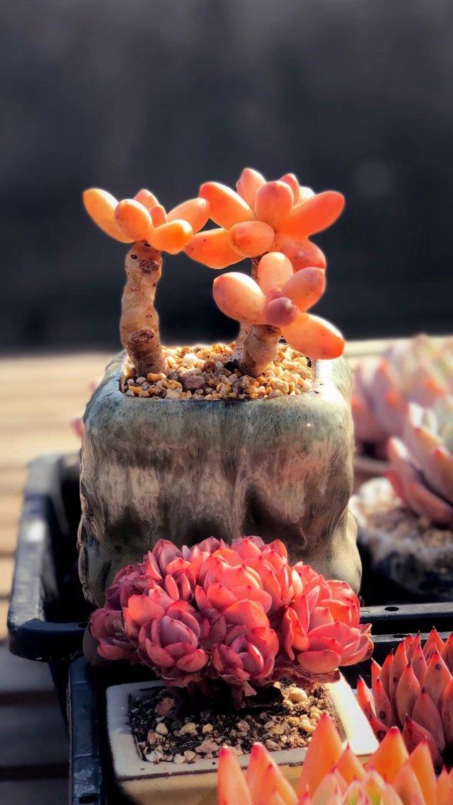 江浙沪养好的多肉植物