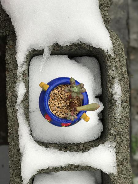 雪中摆拍的多肉