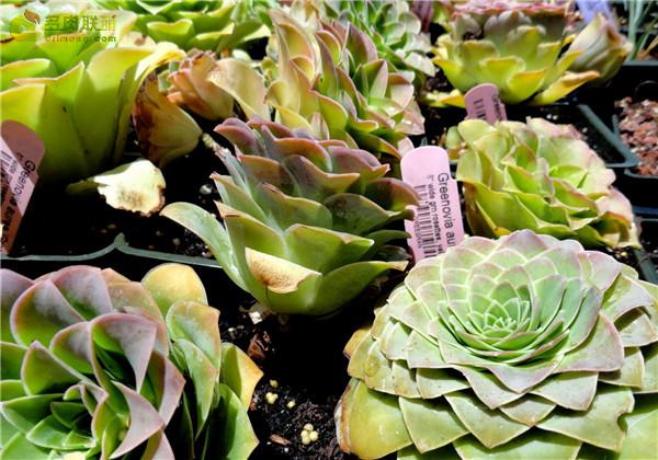 Greenovia aurea ex Gran Canaria 大加那利山地玫瑰
