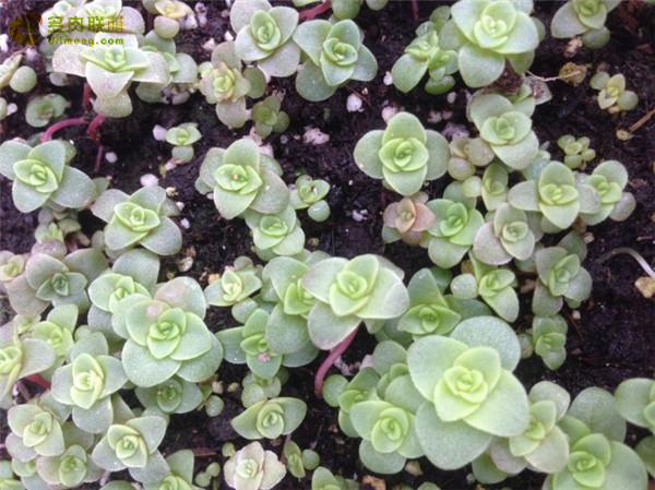 Greenovia aurea ex El Hierro 耶罗粉山地玫瑰