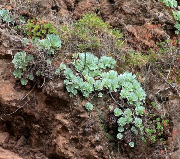 Greenovia aurea ex Tenerife 特内里费山地玫瑰