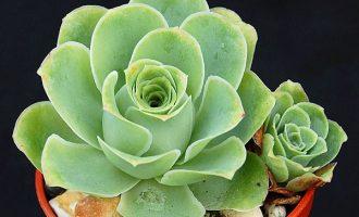 黄金山地玫瑰 Aeonium aureum