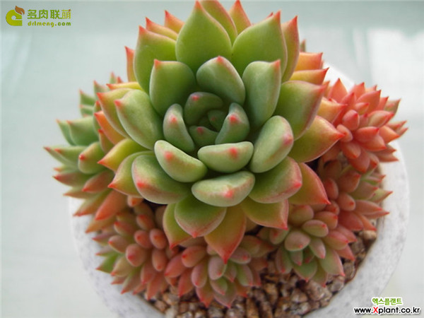 绿翡翠 Echeveria 'Green Emerald'
