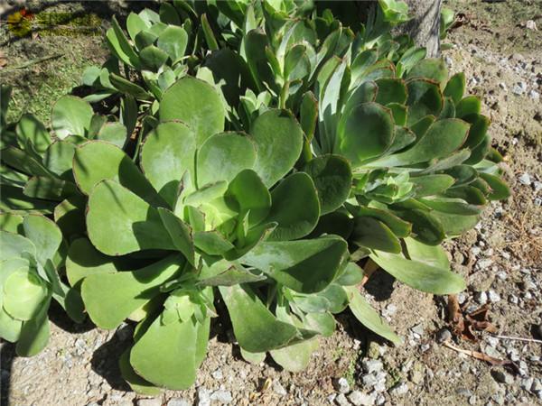 薰染香 Aeonium cuneatum