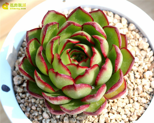弗拉明戈 Echeveria 'Flamenco'