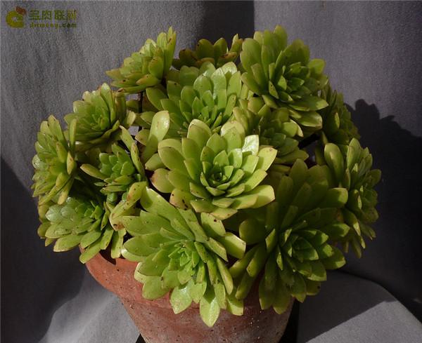 冰羽门客 Aeonium x nogalesii nothovar. dasyphyllum