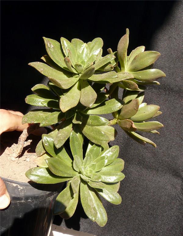 Aeonium burchardii