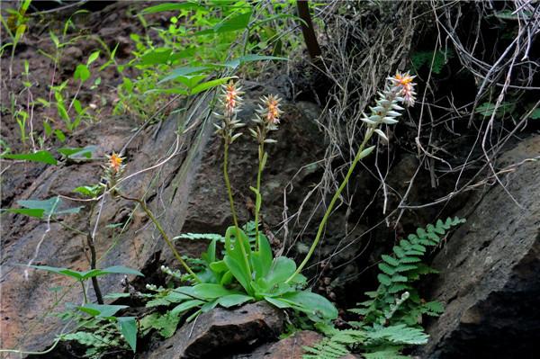 金明灭 Echeveria calycosa