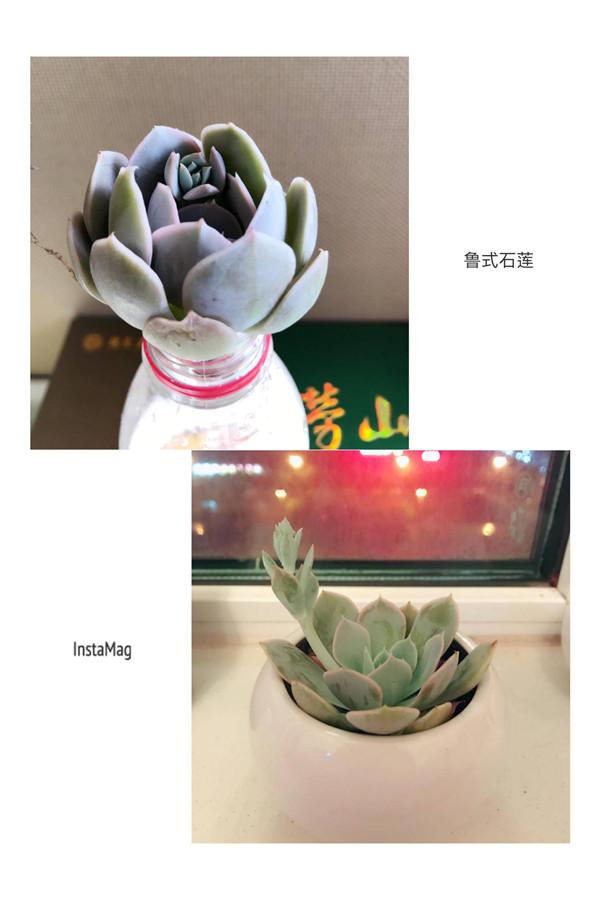 鲁氏石莲的成长变化