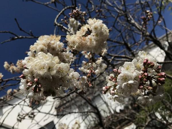 云南的樱花