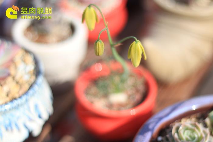 弹簧草开花