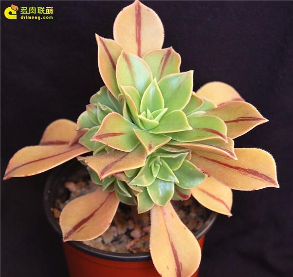 众赞曲 Aeonium leucoblepharum