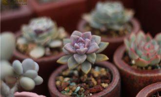 多肉植物可以连续淋雨吗?