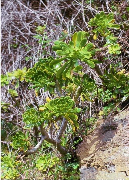 绿法师 Aeonium arboreum var. arboreum