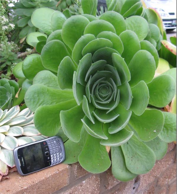 隐霜莲 Aeonium canariense var. palmense