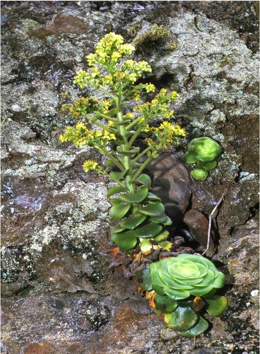 软绒盘 Aeonium canariense var. subplanum