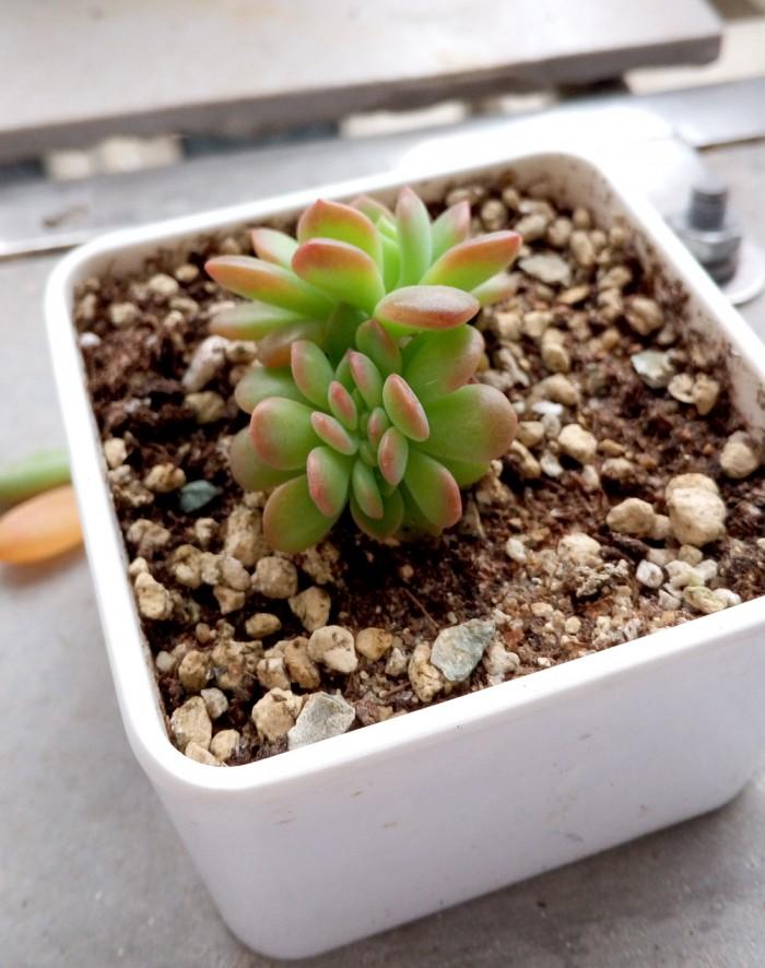 马库斯叶插苗成长变化