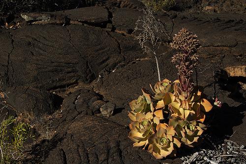 舞龙华 Aeonium cuneatum