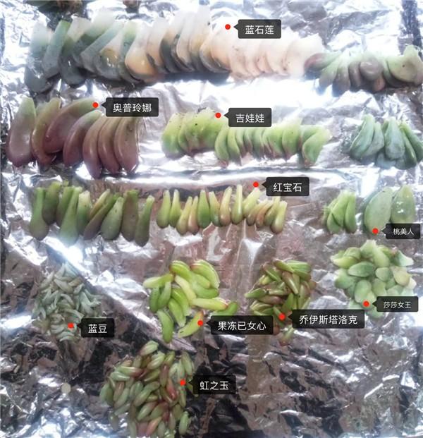 叶插成长记录