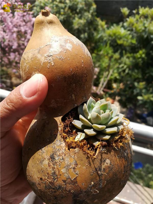 自制葫芦花盆