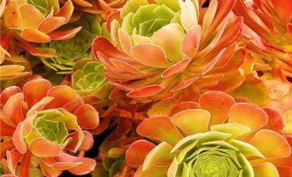 2018年市面上常见莲花掌属植物品种名称汇总表