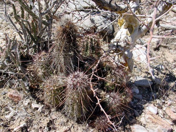 幻虾 Echinocereus ferreirianus1