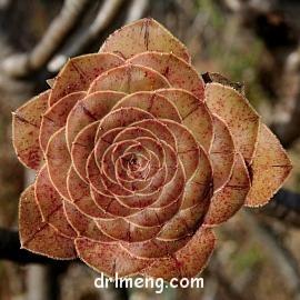 铜镜耀 Aeonium aff. holochrysum