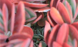 多肉植物的侧芽怎么处理