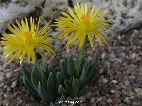 Bergeranthus concavus/Bergeranthus katbergensis