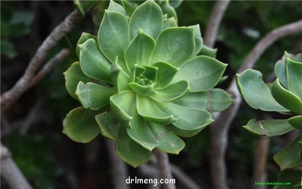 兰萨 Aeonium lancerottense