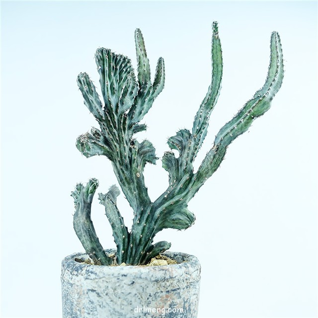 残雪之峰 Monvillea Cereus spegazzinii f. cristata monstruosa