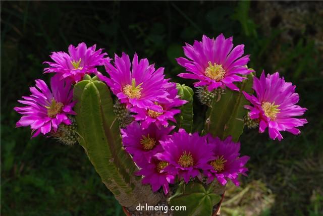 紫翠虾 Echinocereus morricalii