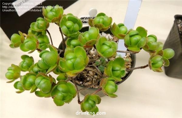 桑氏莲花掌、葡萄法师 Aeonium saundersii